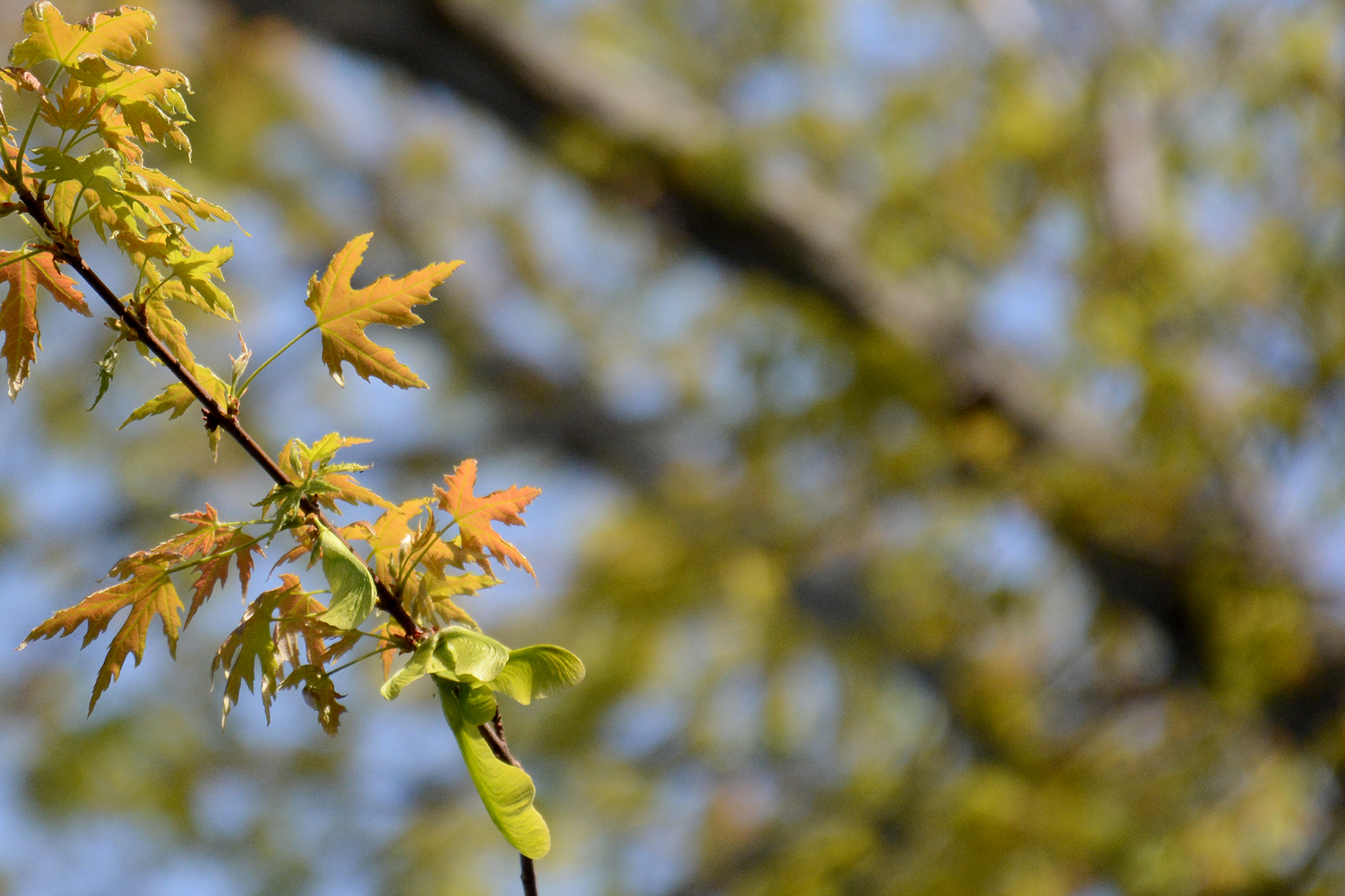 2016-05-05-backyard-leaves1-maple