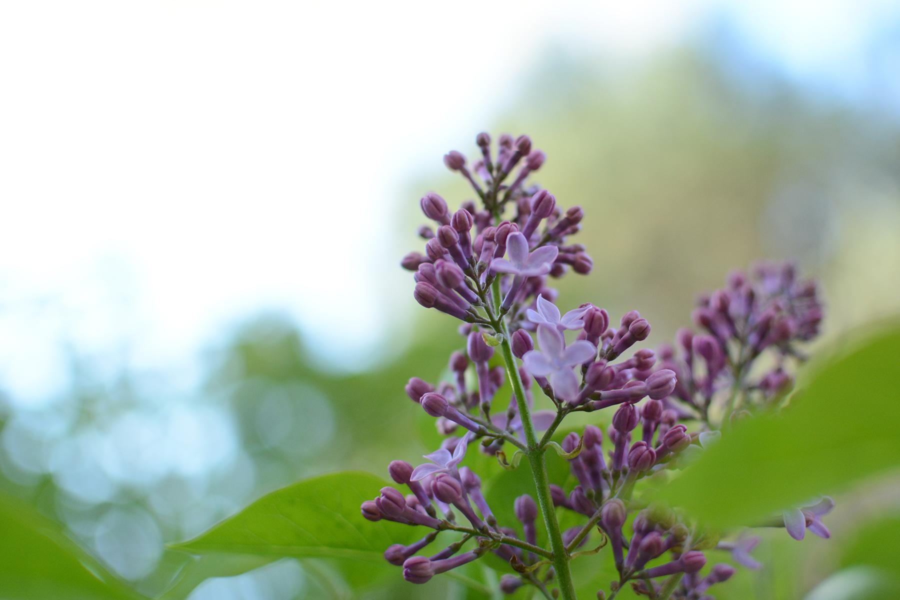 2016-05-05-backyard-lilac