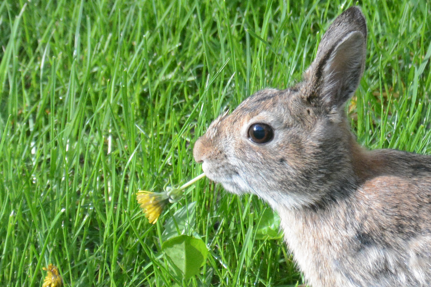 2016-05-12-backyard-rabbit-dandelion1