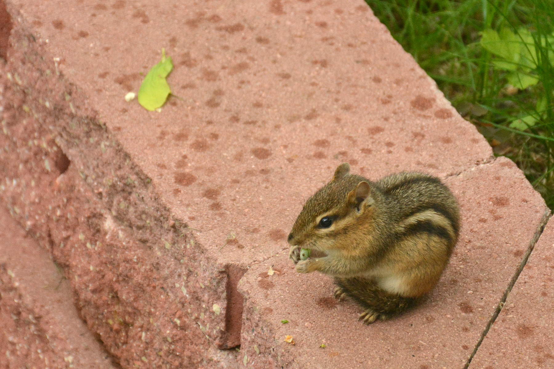 2016-05-13-backyard-chipmunk-maple