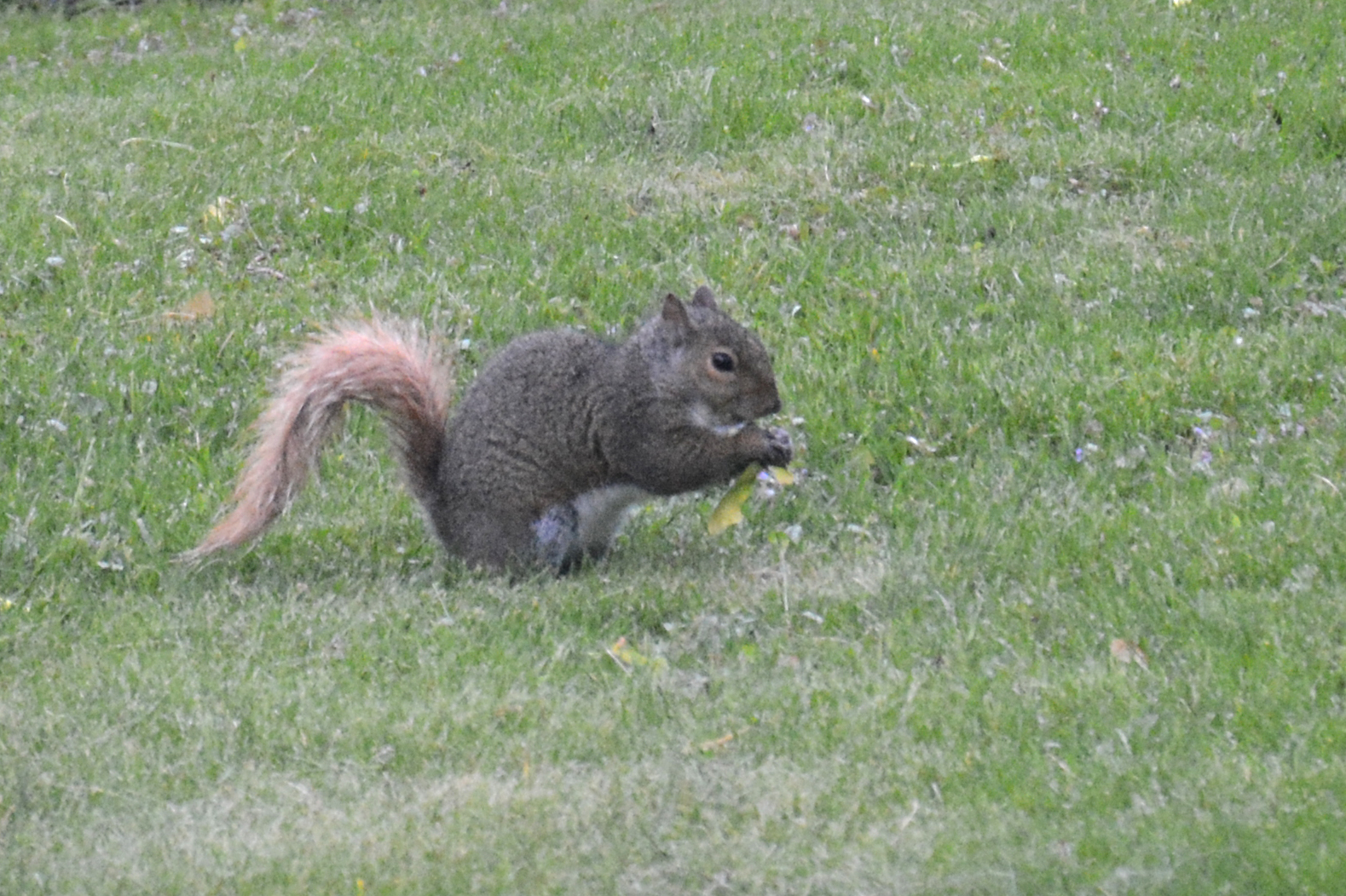 2016-05-13-backyard-squirrel-maple