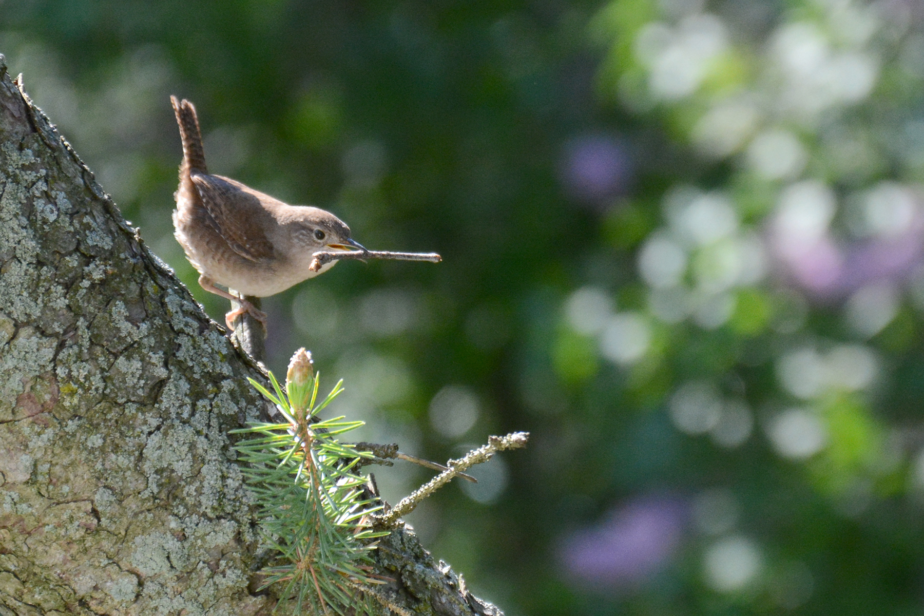 2016-05-13-backyard-wren1