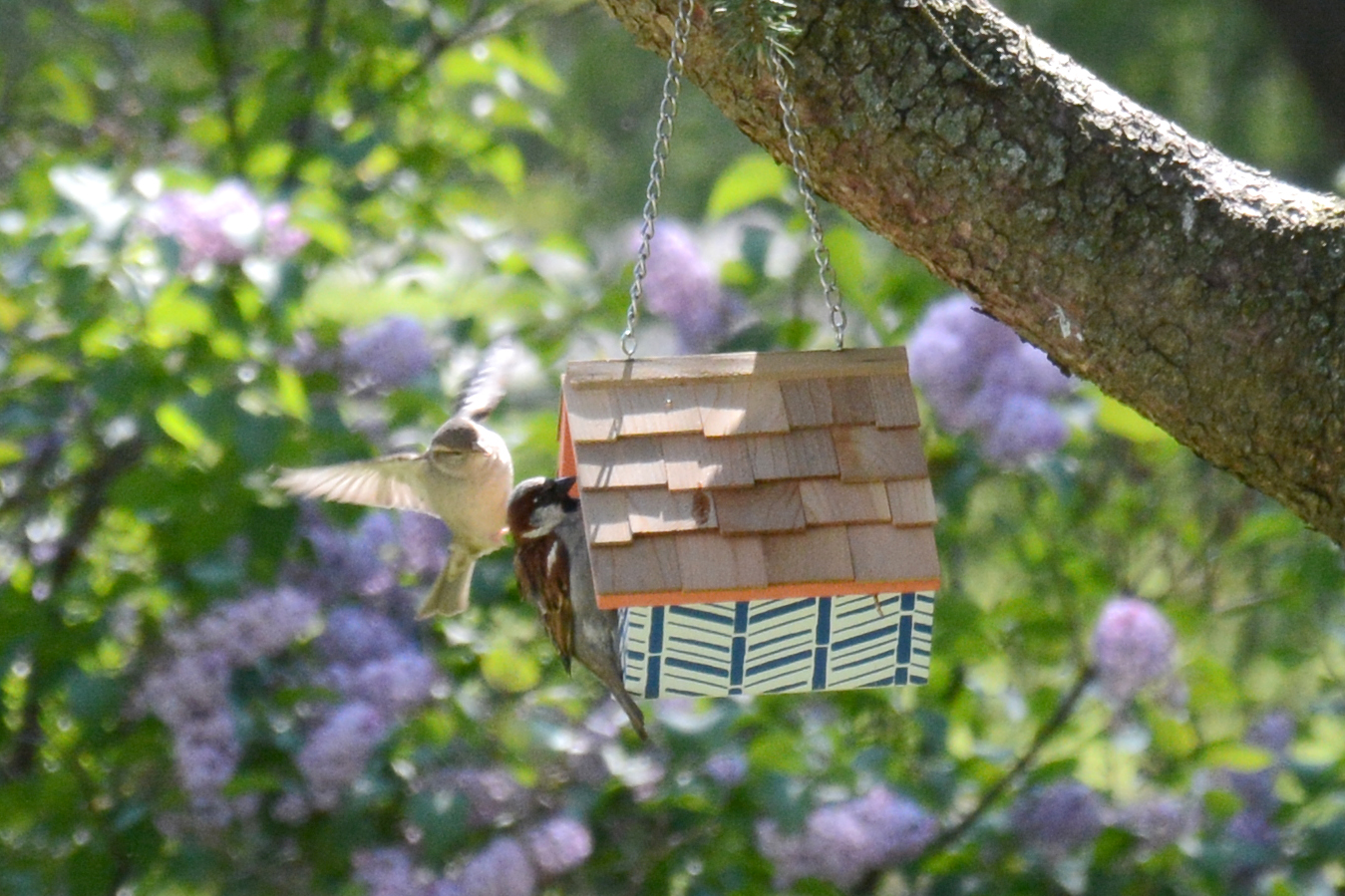 2016-05-15-backyard-sparrow1