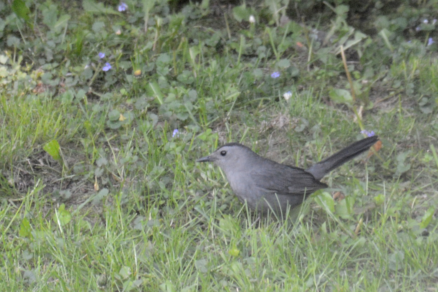 2016-05-16-backyard-birds-graycatbird