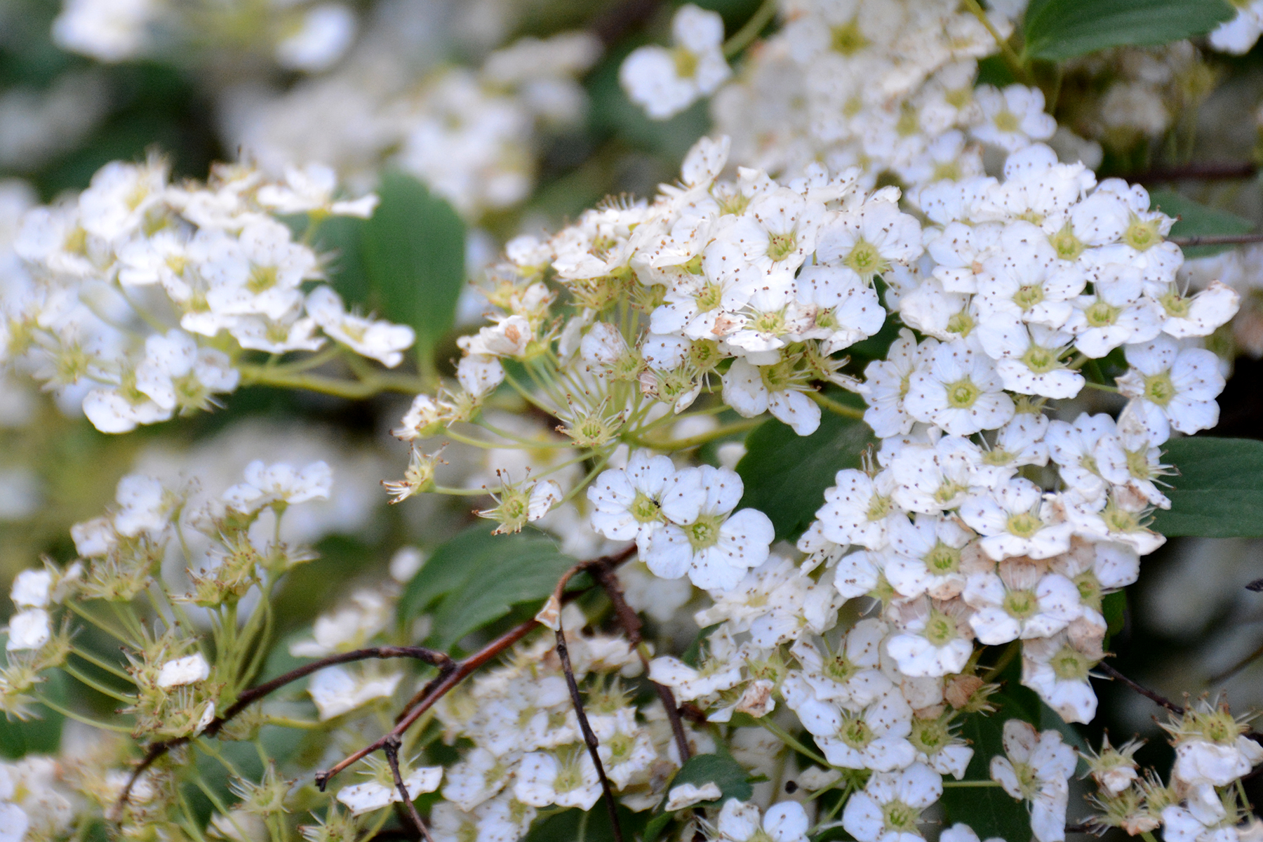 2016-05-29-backyard-plants-bridalwreath