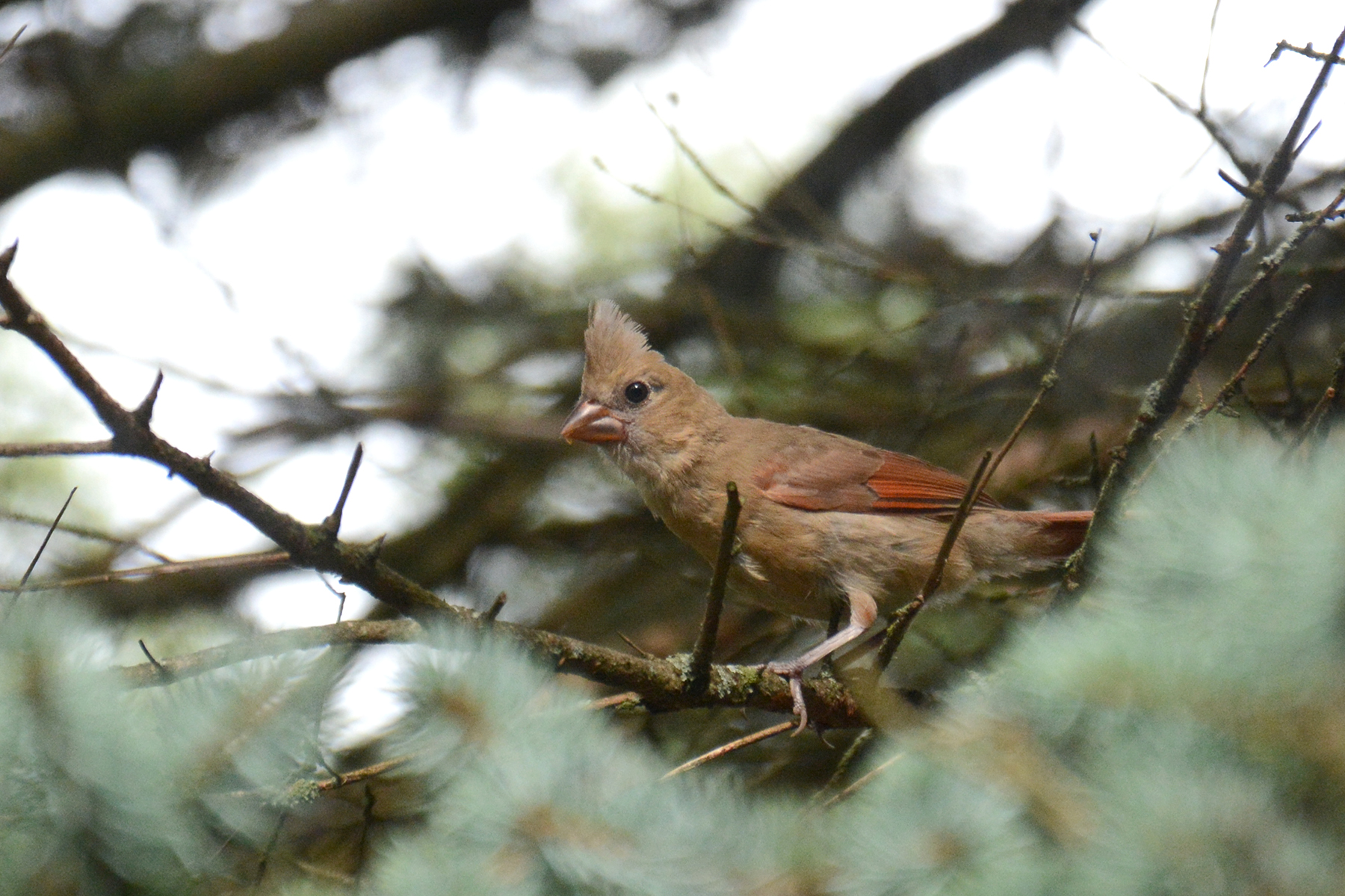 2016-07-18 backyard-juvenilecardinal