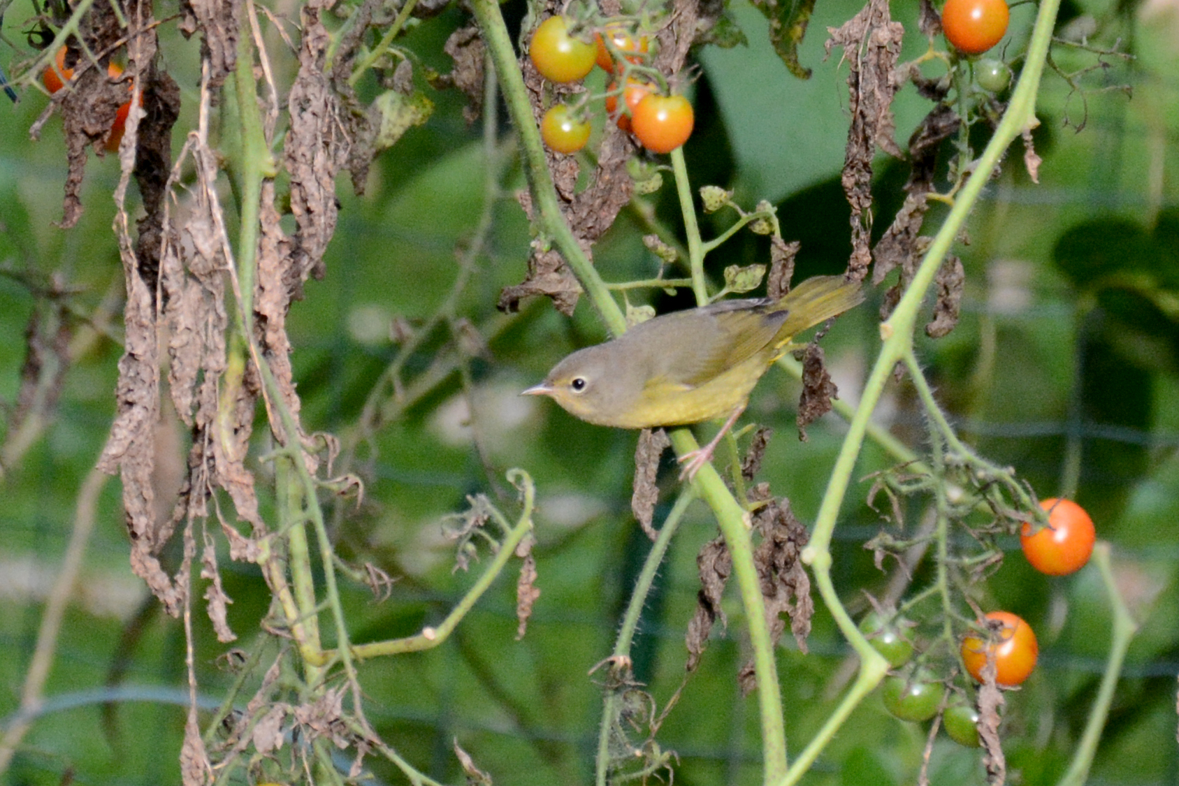 2016-09-09-backyard-nashvillewarbler2