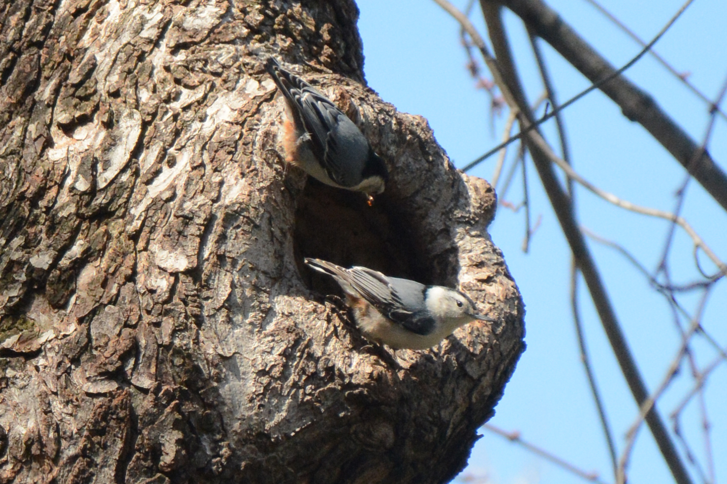 2016-04-02_backyard_nuthatch9-couple