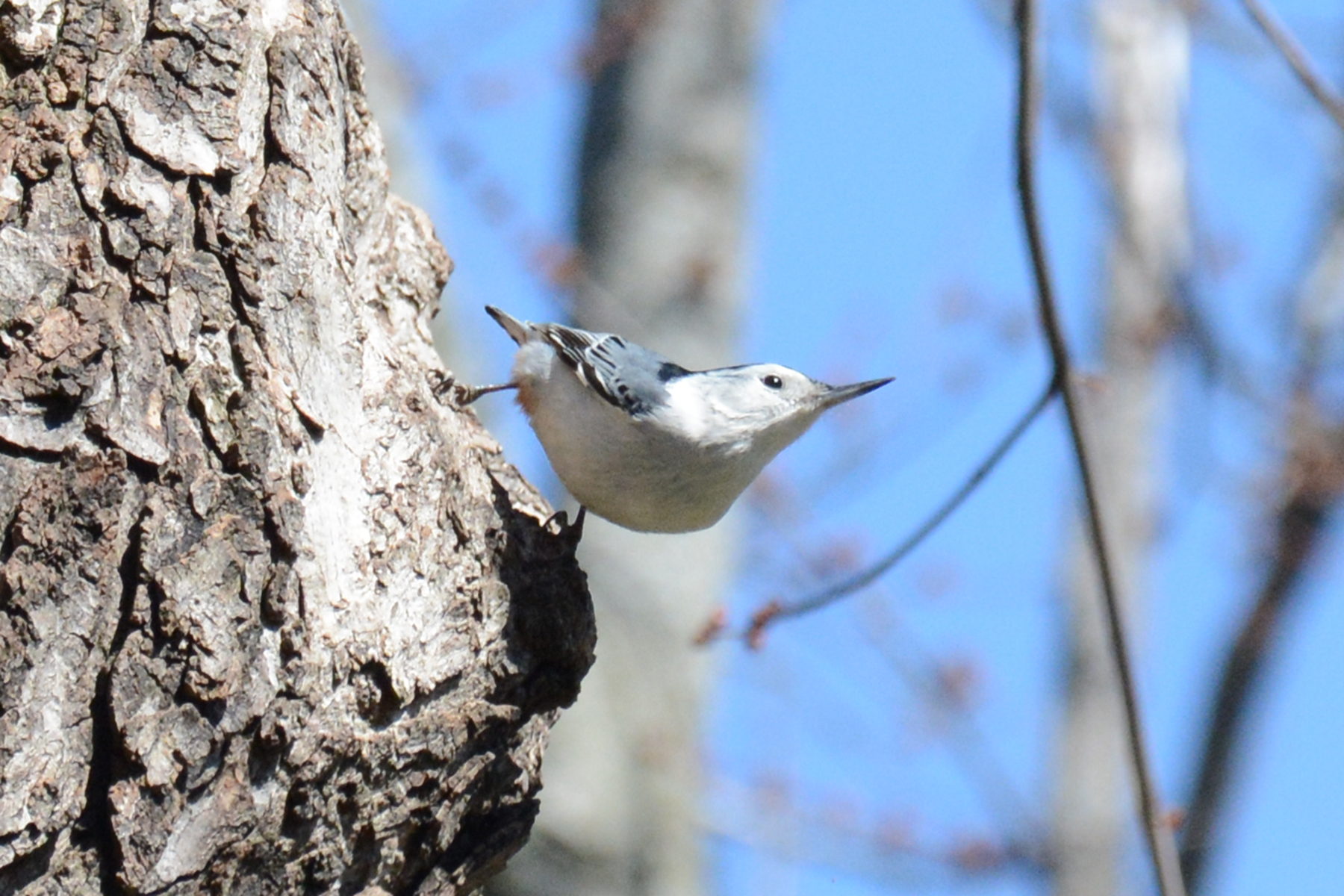 2016-04-03_backyard_nuthatches2