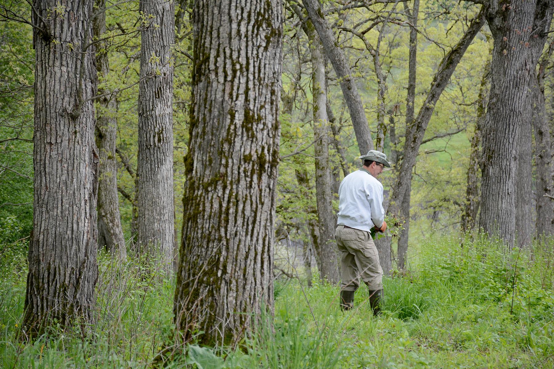 Jim Lesniak pulls invasive garlic mustard between towering trees during a volunteer work day at Muehllehner Addition - Barneveld Prairie, Wis. May 14, 2016.