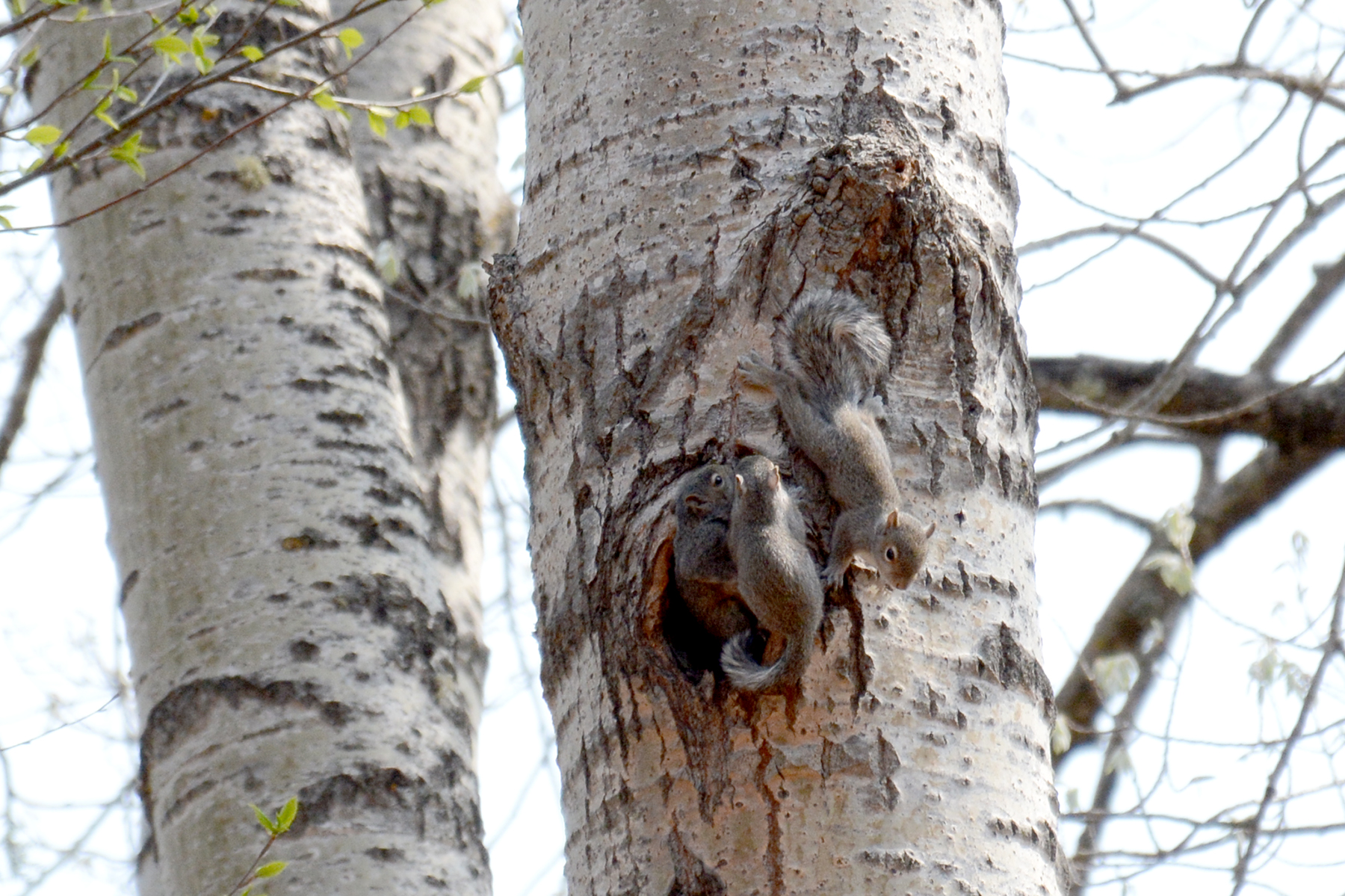 2016-05-19-naturefest-squirrels