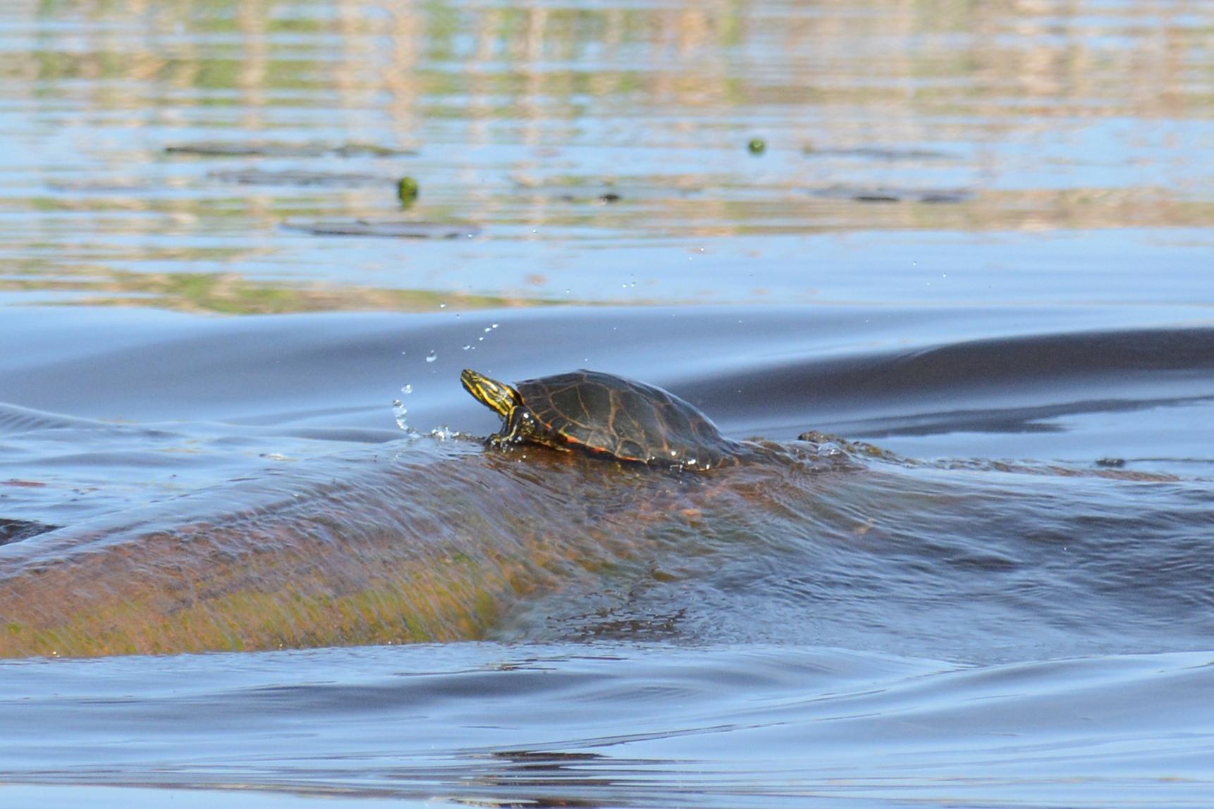 2016-05-19_naturefest-turtle