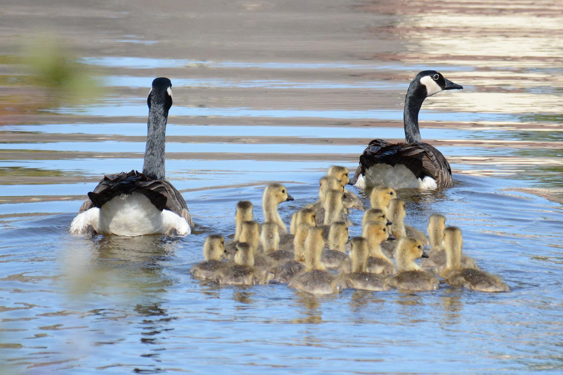 2016-05-21_naturefest-geese