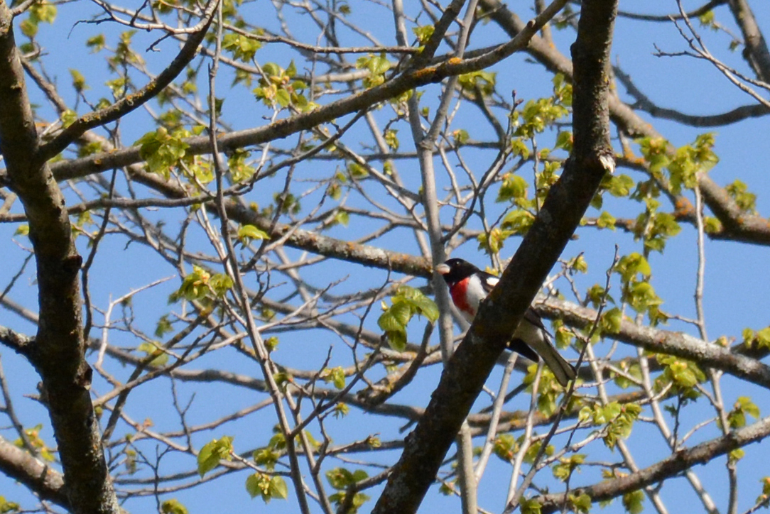 2016-05-21_naturefest-rosebreastedgrosbeak