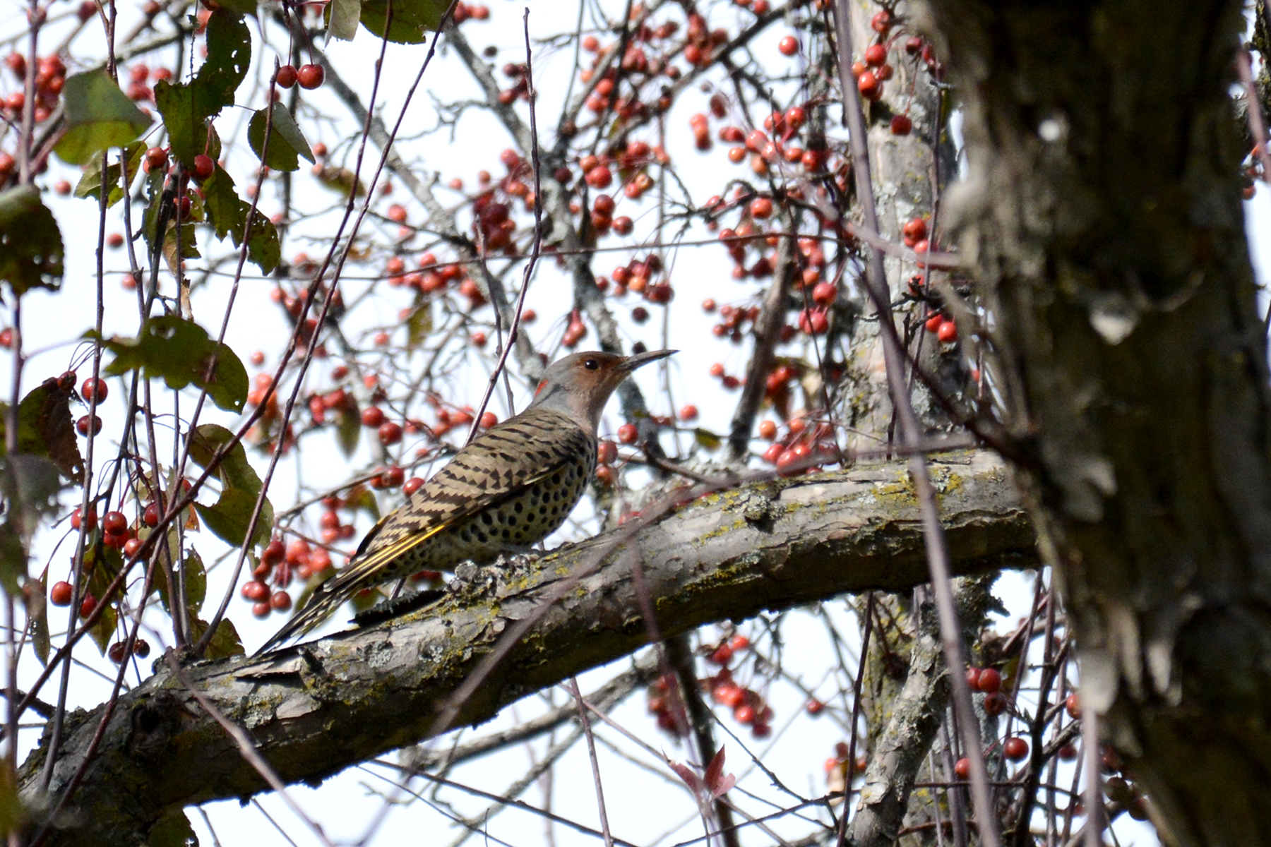 2016-10-14-arboretum-northernflicker