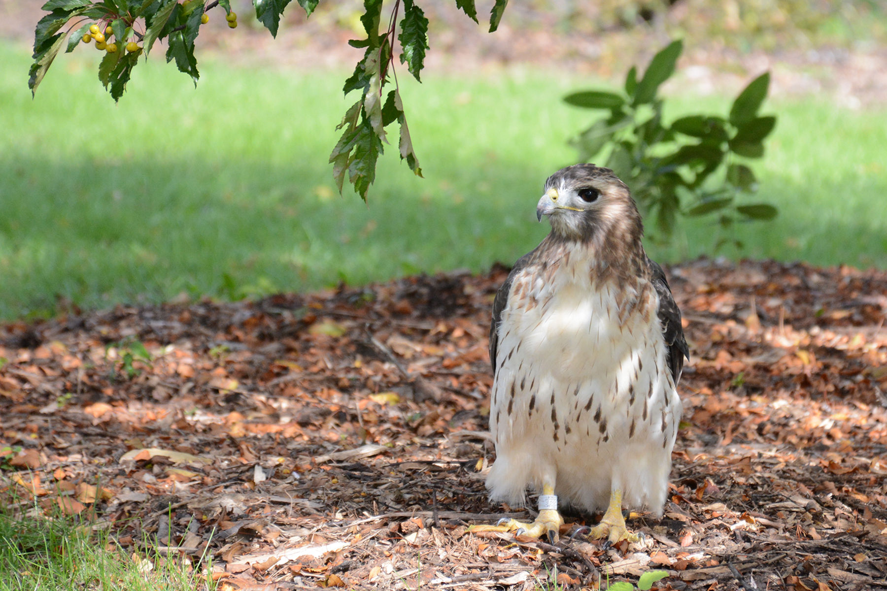 2016-10-14-arboretum-redtailedhawk1